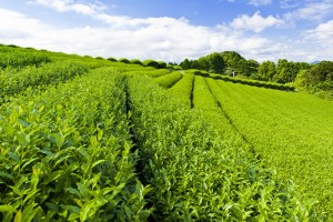 plantation-tea-leaves-green-paths-trails-sky