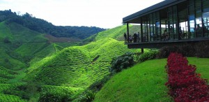 the_boh_tea_plantation